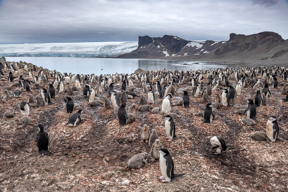 Pinguins-de-barbicha - Ilha Linvingstone - Shetlands do Sul